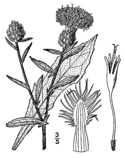 image of Centaurea nigra, Black Knapweed, Spanish-buttons