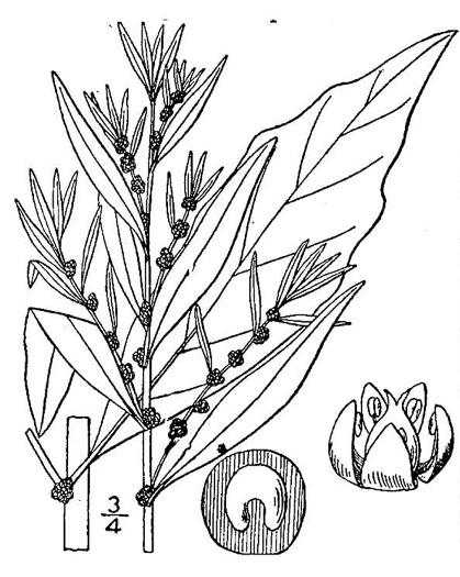 image of Dysphania ambrosioides, Mexican-tea, Epazote