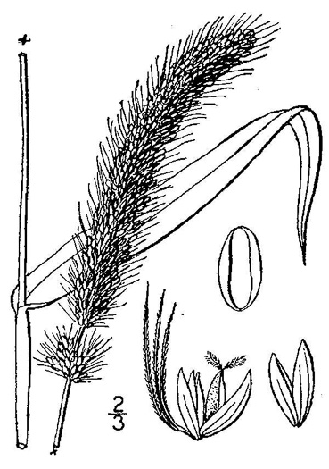 image of Setaria italica, Yellow Foxtail, Italian Millet, Foxtail Millet