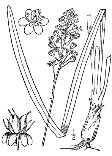 image of Amianthium muscitoxicum, Fly-poison