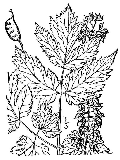 drawing of Actaea podocarpa, Mountain Black Cohosh, American Cohosh, Late Black Cohosh