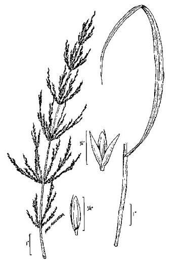 image of Cinna arundinacea, Common Woodreed, Stout Woodreed, Sweet Woodreed