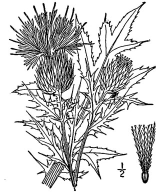 picture of Carduus discolor, image of Cirsium discolor