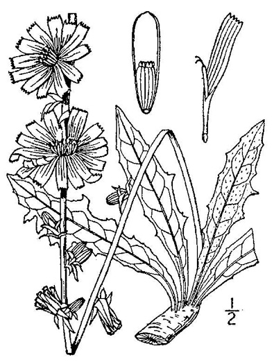 drawing of Cichorium intybus, Chicory, Blue Sailors, Succory