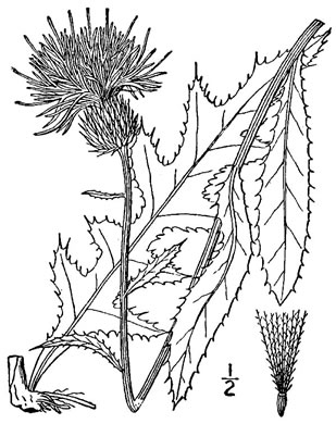 picture of Carduus virginianus, image of Cirsium virginianum