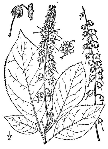 image of Clethra acuminata, Mountain Sweet-pepperbush, Cinnamonbark, Cinnamon Clethra, Mountain White-alder