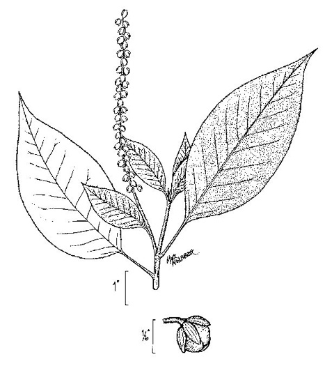 picture of Clethra alnifolia var. tomentosa, image of Clethra tomentosa