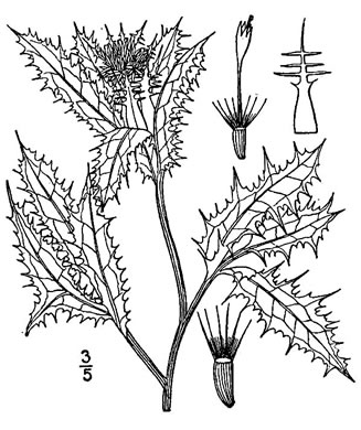 image of Centaurea benedicta, Blessed Thistle