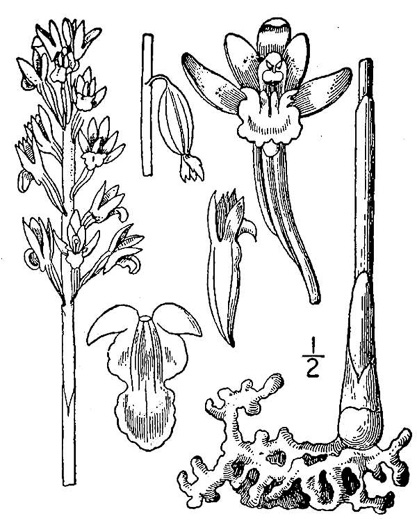 picture of Corallorhiza maculata, image of Corallorhiza maculata var. maculata