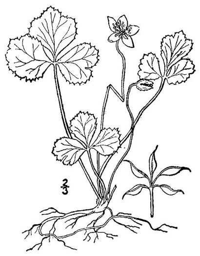 image of Coptis trifolia var. groenlandica, Goldthread, Goldenroot