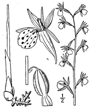 image of Corallorhiza wisteriana, Spring Coralroot, Wister's Coralroot