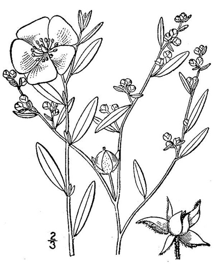 image of Crocanthemum canadense, Canada Frostweed, Canada Sunrose