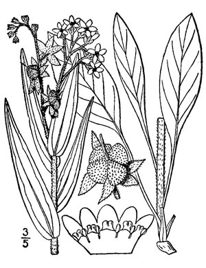 image of Cynoglossum officinale, Hound's-tongue, Garden Comfrey
