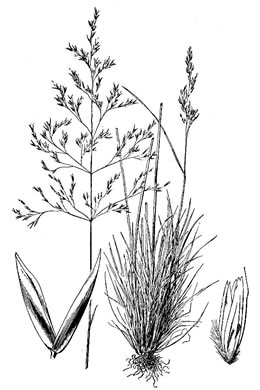 image of Deschampsia cespitosa ssp. glauca, Tufted Hairgrass