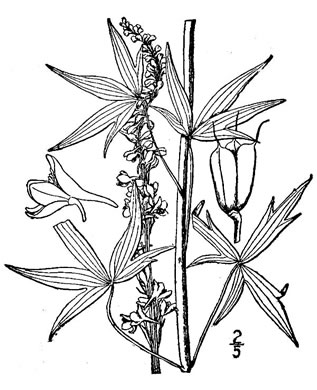 drawing of Delphinium exaltatum, Tall Larkspur