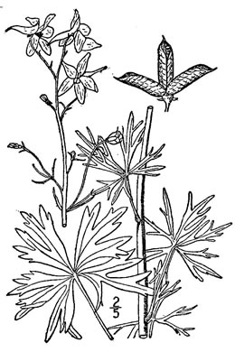 drawing of Delphinium tricorne, Dwarf Larkspur