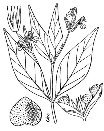 image of Justicia ovata var. ovata, Coastal Plain Water-willow, Loose-flower Water-willow