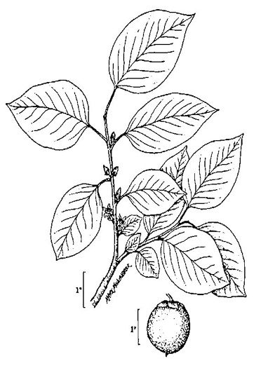 drawing of Diospyros virginiana, American Persimmon, Common Persimmon, Simmon