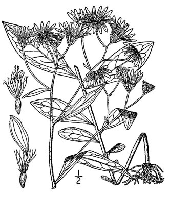 image of Doellingeria infirma, Appalachian Flat-topped White Aster, Cornel-leaf Aster