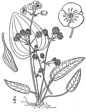image of Echinodorus cordifolius, Creeping Burhead, Creeping Water-plantain