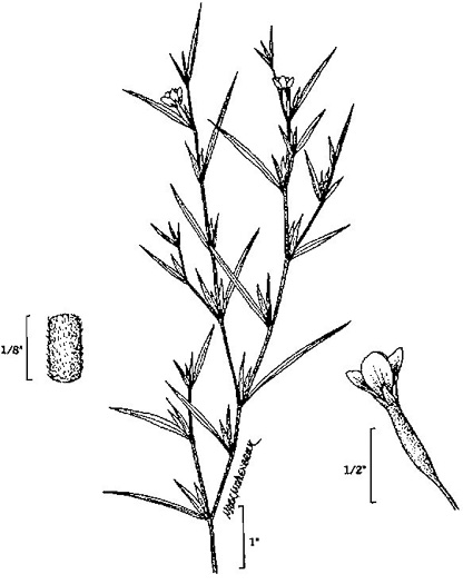image of Epilobium coloratum