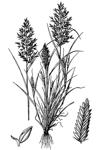image of Eragrostis cilianensis, Stinkgrass