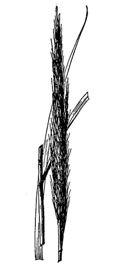 image of Erianthus strictus, Narrow Plumegrass