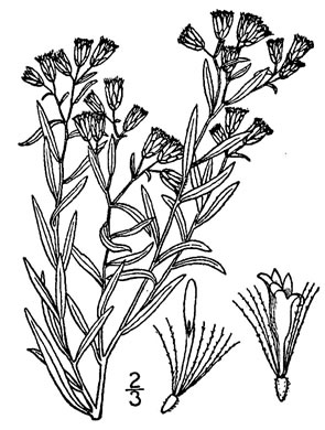 image of Euthamia leptocephala, Mississippi Valley Flat-topped Goldenrod