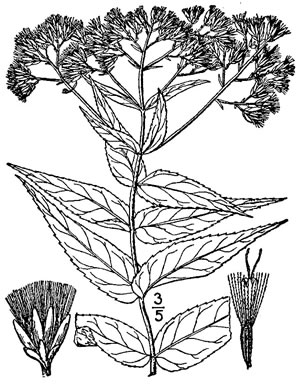 image of Eupatorium sessilifolium var. sessilifolium