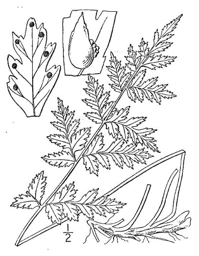 image of Cystopteris fragilis, Fragile Fern, Brittle Fern, Brittle Bladder Fern