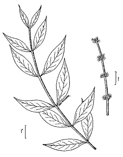 drawing of Forestiera acuminata, Swamp-privet