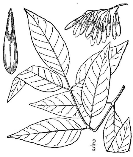 drawing of Fraxinus americana, White Ash, American Ash