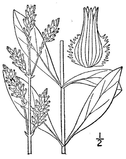 image of Froelichia campestris, Plains Cottonseed