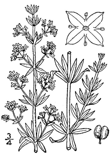image of Galium mollugo, False Baby's Breath, Smooth Bedstraw, Hedge Bedstraw, Wild Madder
