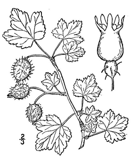 drawing of Ribes cynosbati, Prickly Gooseberry, Dogberry