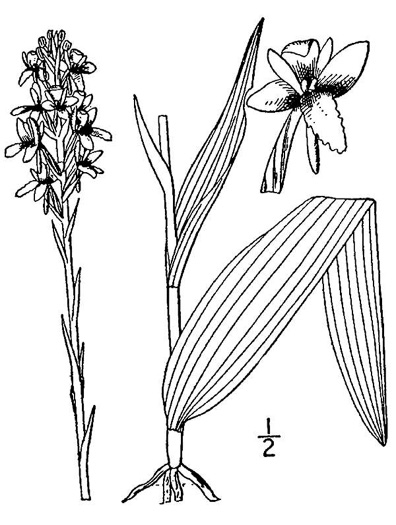 image of Platanthera integra, Yellow Fringeless Orchid, Golden Frog Orchid, Golden Fringeless Orchid