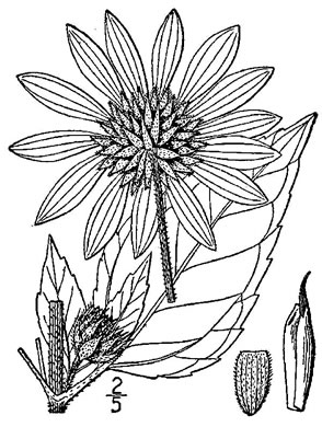 image of Helianthus annuus