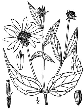 image of Helianthus strumosus, Roughleaf Sunflower, Pale-leaf Woodland Sunflower