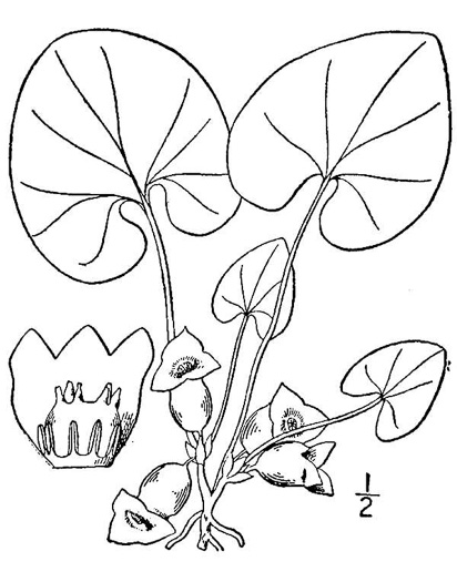 picture of Hexastylis virginica, image of Hexastylis virginica