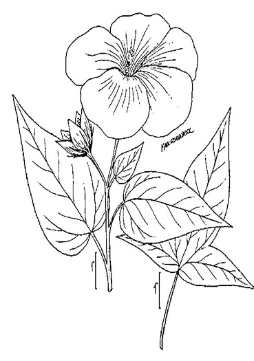 image of Hibiscus laevis, Halberd-leaved Marsh-mallow, Rose Hibiscus, Smooth Rose-mallow, Showy Hibiscus