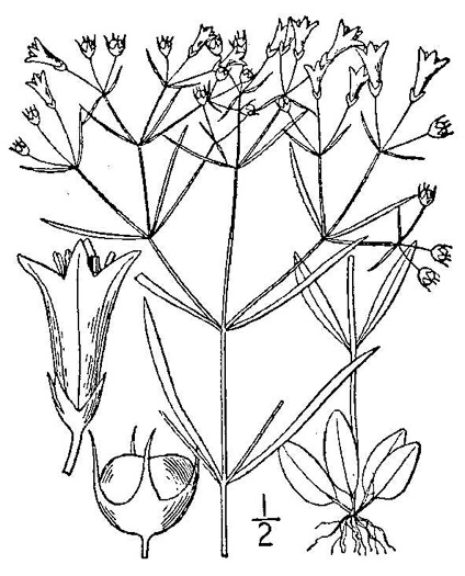 image of Houstonia tenuifolia, Narrowleaf Bluet, Diffuse-branched Bluet
