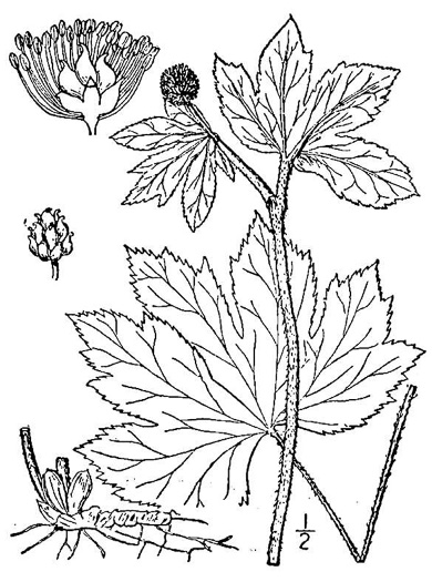 drawing of Hydrastis canadensis, Goldenseal