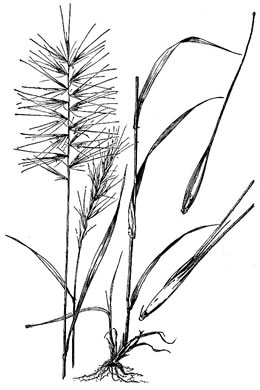 image of Elymus hystrix var. hystrix, Common Bottlebrush Grass