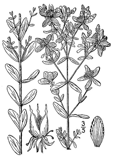 image of Hypericum perforatum, European St. Johnswort