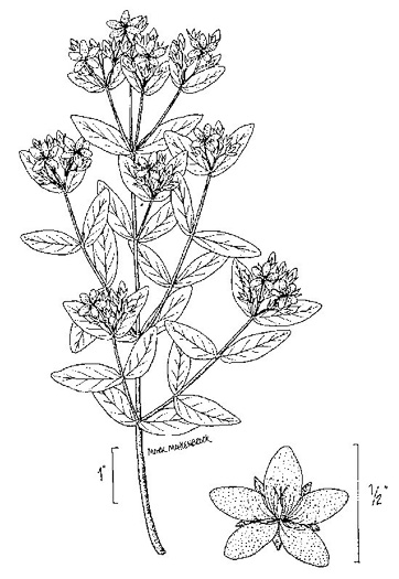 image of Hypericum crux-andreae