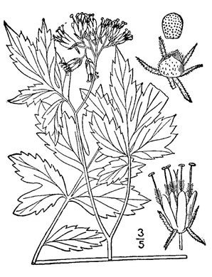 image of Hydrophyllum virginianum +, Virginia Waterleaf, Eastern Waterfleaf