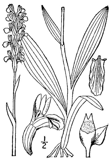 image of Spiranthes lucida