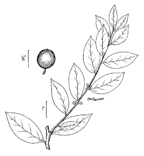 image of Ilex coriacea, Sweet Gallberry, Big Gallberry, Large Gallberry