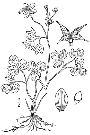 drawing of Enemion biternatum, False Rue-anemone, Isopyrum