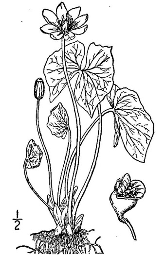 image of Jeffersonia diphylla